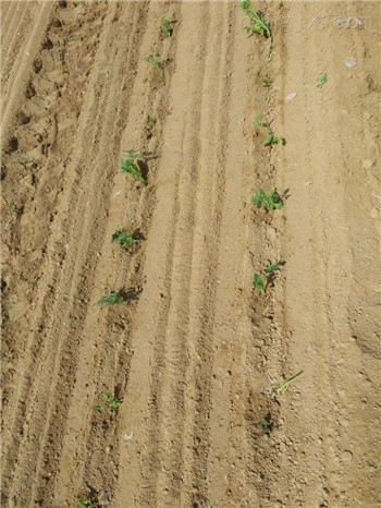 種植玉米請選擇田耐爾移栽機,栽植機